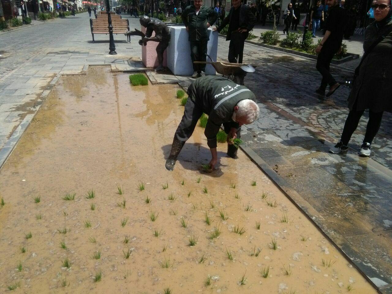 «کاشت نشای برنج» در پیادهراه علمالهدی رشت
