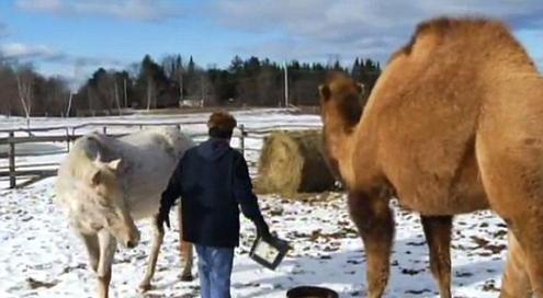 دوستی شتر و اسب